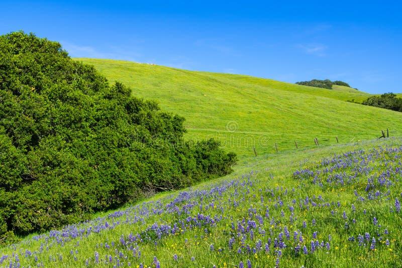 Ειδυλλιακή σκηνή άνοιξη ενός μπλε lupine και κίτρινων wildflowers στους πολύβλαστους πράσινους τομείς και τους λόφους στοκ φωτογραφίες με δικαίωμα ελεύθερης χρήσης