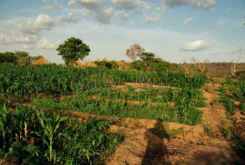 Ειδυλλιακοί πράσινοι τομείς ενός οργανικού αγροκτήματος στον ξηρό βόρεια της Γκάνας, 2018 στοκ εικόνες με δικαίωμα ελεύθερης χρήσης