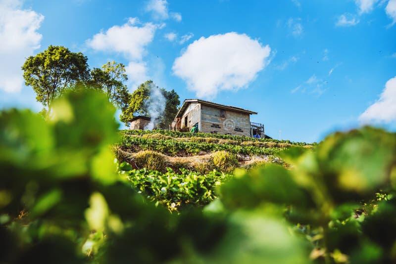 Εικόνα αγροτικού υποβάθρου φραουλών Αγροτική όμορφη φύση φραουλών ?? Angkhang στοκ εικόνες
