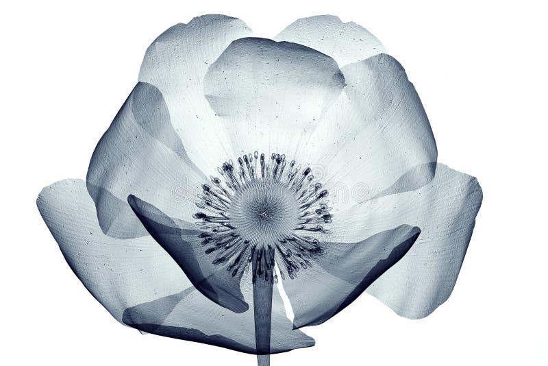 Εικόνα ακτίνας X ενός λουλουδιού που απομονώνεται στο λευκό, Papaver παπαρουνών ελεύθερη απεικόνιση δικαιώματος