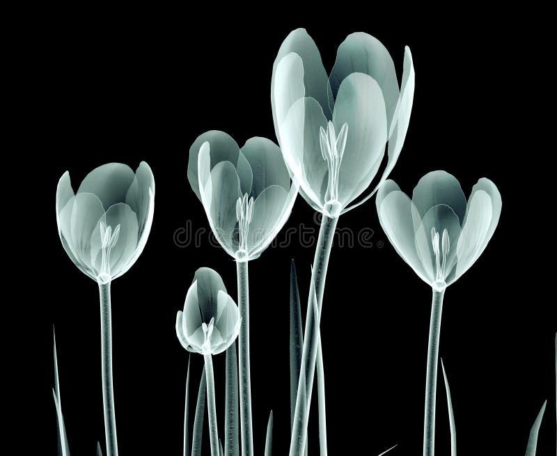 Εικόνα ακτίνας X ενός λουλουδιού που απομονώνεται στο Μαύρο, ο κρόκος απεικόνιση αποθεμάτων
