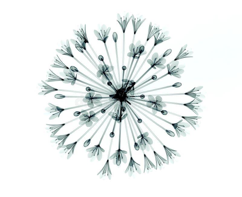 Εικόνα ακτίνας X ενός λουλουδιού στο λευκό, το κουδούνι Agapanthus στοκ φωτογραφία