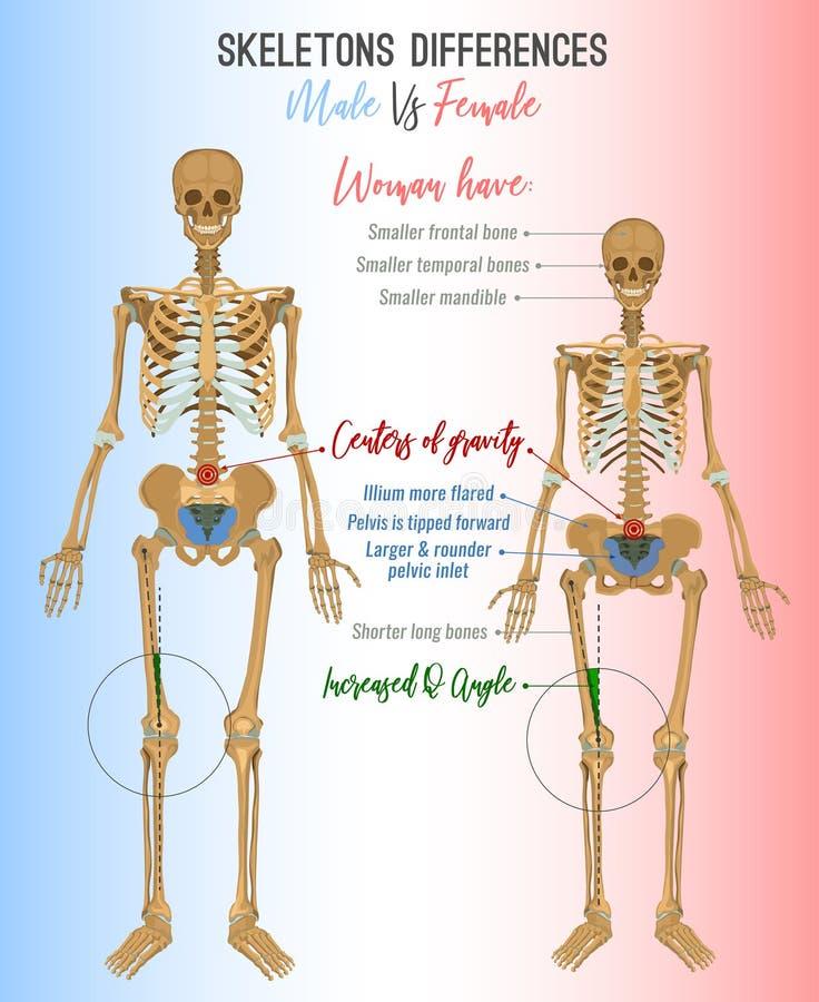 Εικόνα διαφορών σκελετών ελεύθερη απεικόνιση δικαιώματος