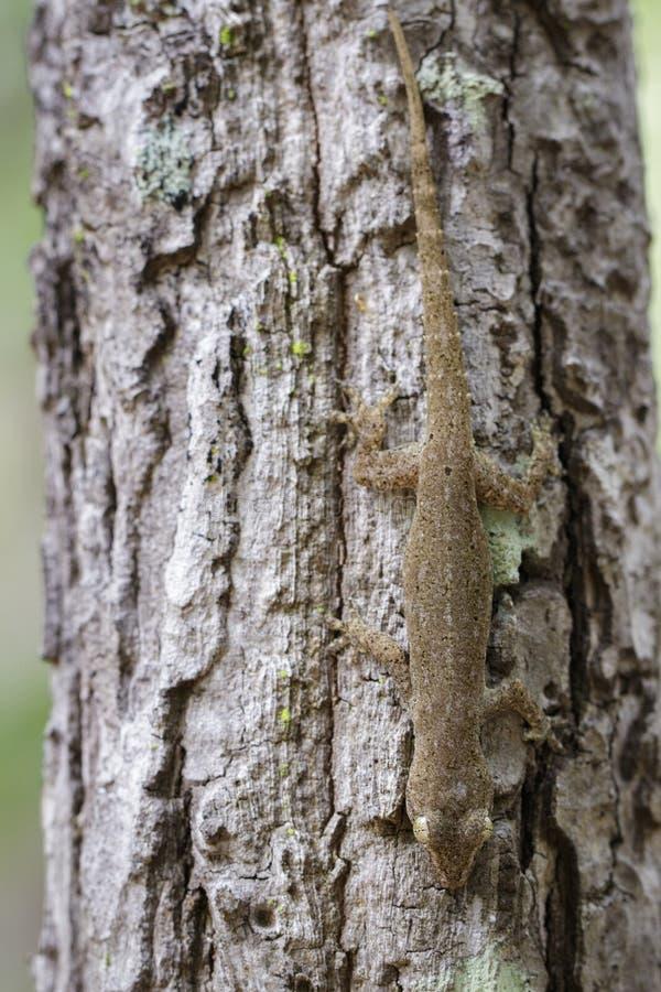 Εικόνα ενός geckoHemidactylus στο δέντρο ερπετό _ στοκ εικόνες με δικαίωμα ελεύθερης χρήσης