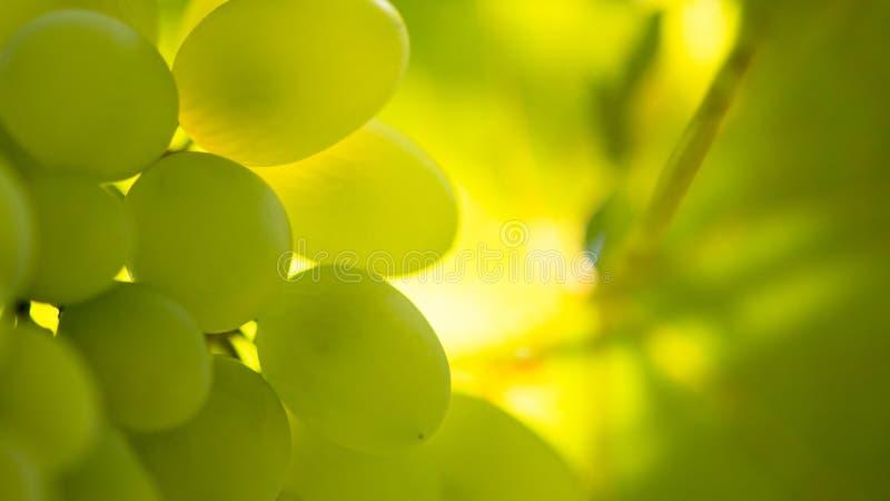 Εικόνα κινηματογραφήσεων σε πρώτο πλάνο ώριμου Bunche των άσπρων σταφυλιών κρασιού στην άμπελο στοκ φωτογραφία