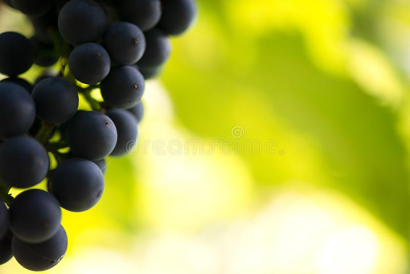 Εικόνα κινηματογραφήσεων σε πρώτο πλάνο ώριμου Bunche των σταφυλιών κόκκινου κρασιού στην άμπελο στοκ εικόνες