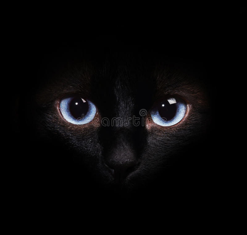 Εικόνα κινηματογραφήσεων σε πρώτο πλάνο ενός πορτρέτου μιας σιαμέζας γάτας στοκ εικόνες