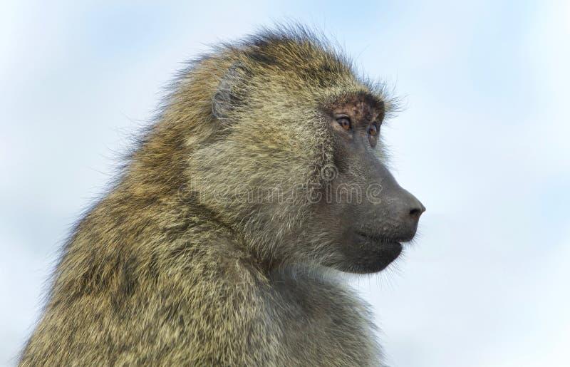 Εικόνα με αστείο baboon που κοιτάζει κατά μέρος στοκ εικόνες