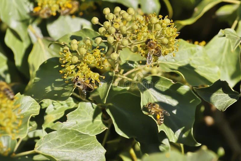 Εικόνα της Νίκαιας της μέλισσας μελιού μελισσών, mellifera Apis που συλλέγει το νέκταρ στοκ εικόνες