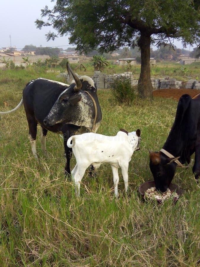 Εικόνα της Νίκαιας των αγελάδων που ταΐζουν στο αγρόκτημα στοκ εικόνες