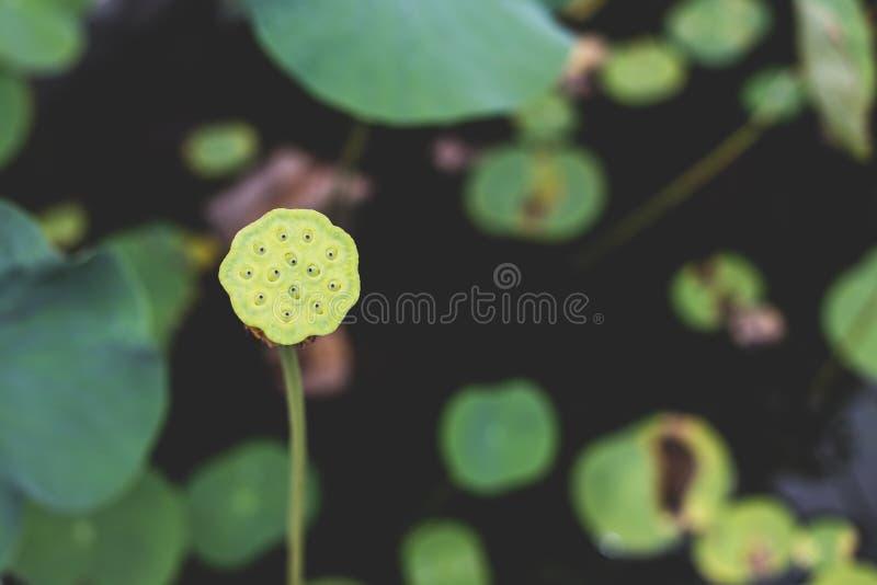 Εικόνα του ενιαίων, ψηλών, πράσινων μίσχου λωτού Α, των σπόρων, και του λοβού, που αντιμετωπίζει ένα τεράστιο φύλλο λωτού, σε μια στοκ φωτογραφίες