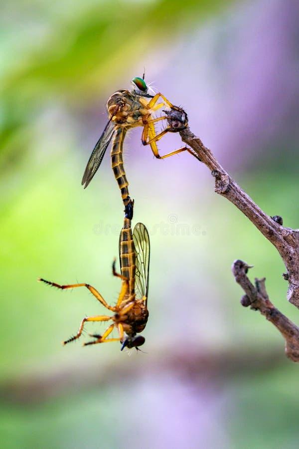 Εικόνα του ζευγαρώματος των μυγών ληστών στους ξηρούς κλάδους έντομο _ στοκ φωτογραφία