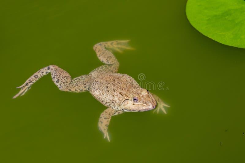 Εικόνα του Κινέζου βρώσιμου βατράχου, της Ανατολικής Ασίας, του βάτραχου της Ταϊβάν Hoplobatrachus rugulosus στο νερό Αμφίβια Ζωι στοκ εικόνες με δικαίωμα ελεύθερης χρήσης