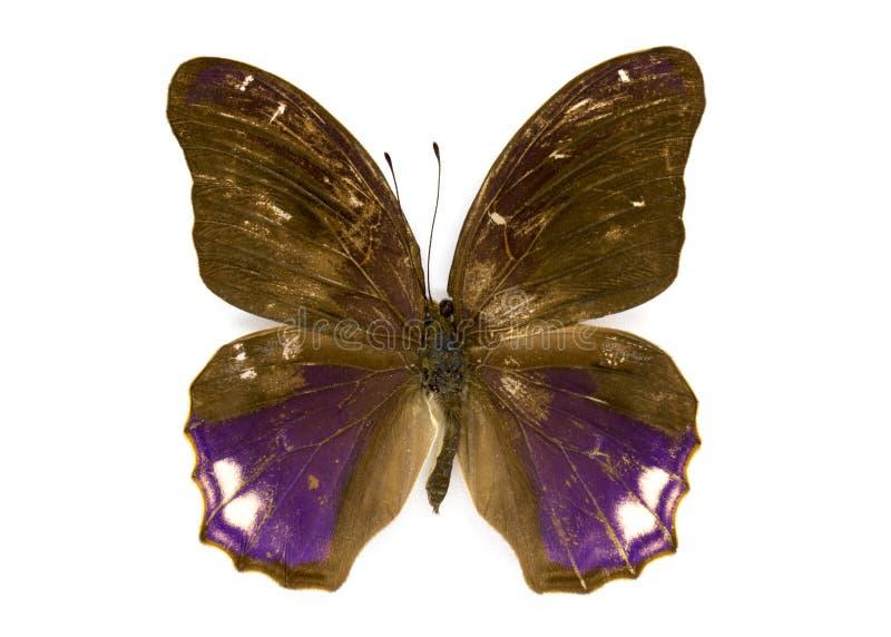 Εικόνα του μεγάλου clarissa Terinos πεταλούδων Assyrian στοκ φωτογραφία