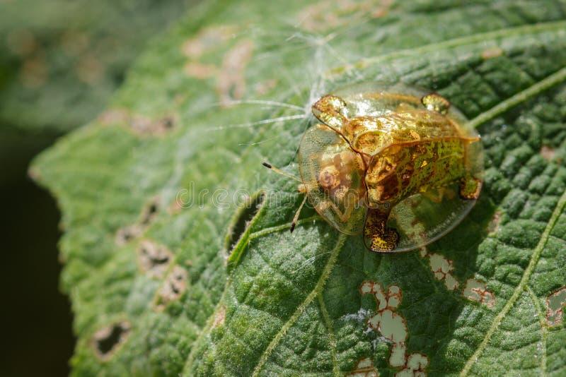 Εικόνα του χρυσού κανθάρου Tortoise σε ένα πράσινο φύλλο στοκ φωτογραφία με δικαίωμα ελεύθερης χρήσης