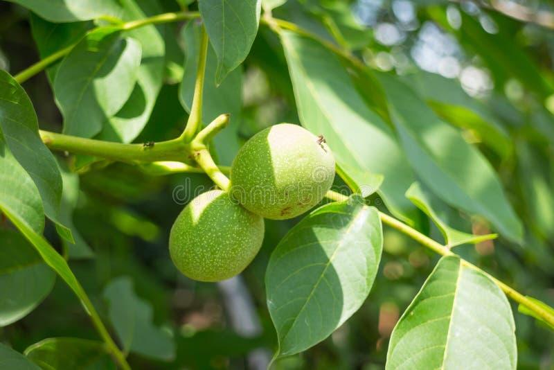 Εικόνα του unripe πράσινου ξύλου καρυδιάς στο brunch στοκ εικόνες