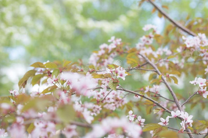Εικόνα των μαλακών λουλουδιών ανθών ή Sakura κερασιών εστίασης στο φυσικό υπόβαθρο φανταστικό floral δέντρο άνοιξη ζευγών ανασκόπ στοκ φωτογραφία