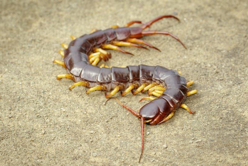 Εικόνα των σαρανταποδαρούμενων ή των chilopoda στο έδαφος Ζωικό είδος δηλητηριώδη ζώα στοκ εικόνα