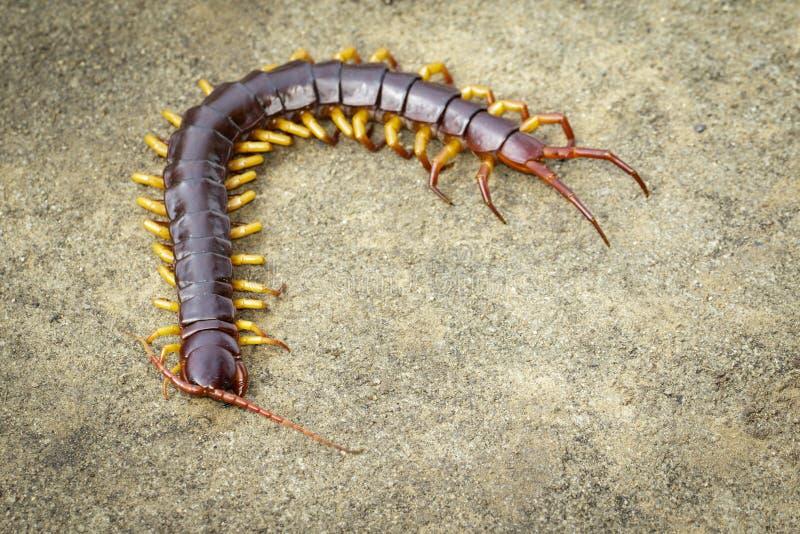 Εικόνα των σαρανταποδαρούμενων ή των chilopoda στο έδαφος Ζωικό είδος δηλητηριώδη ζώα στοκ εικόνες