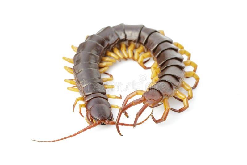 Εικόνα των centipedes ή chilopoda απομονωμένων σε λευκό φόντο Ζωικό είδος Δηλητηριώδη ζώα στοκ φωτογραφίες