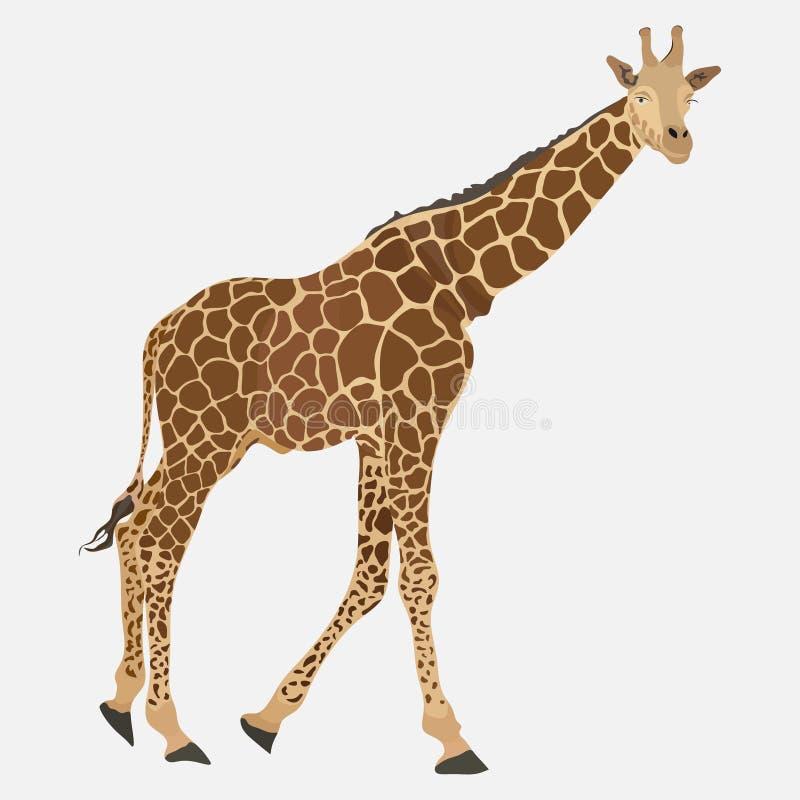 Εικόνα giraffe, σομαλικό ζώο, προσδιορισμός ζωολογικών κήπων διανυσματική απεικόνιση