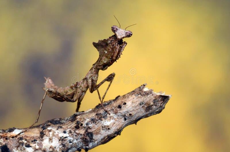Εικόνα mantis των όμορφων νεκρών φύλλων στοκ φωτογραφίες με δικαίωμα ελεύθερης χρήσης