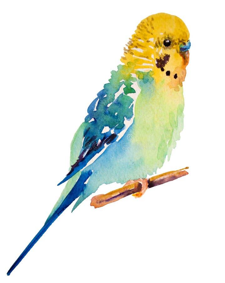 Εικόνα Watercolor του budgie στο άσπρο υπόβαθρο στοκ φωτογραφία με δικαίωμα ελεύθερης χρήσης