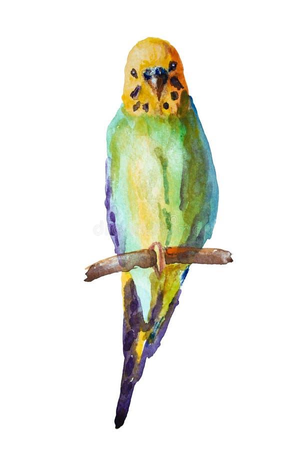 Εικόνα Watercolor του budgie στο άσπρο υπόβαθρο στοκ εικόνες με δικαίωμα ελεύθερης χρήσης