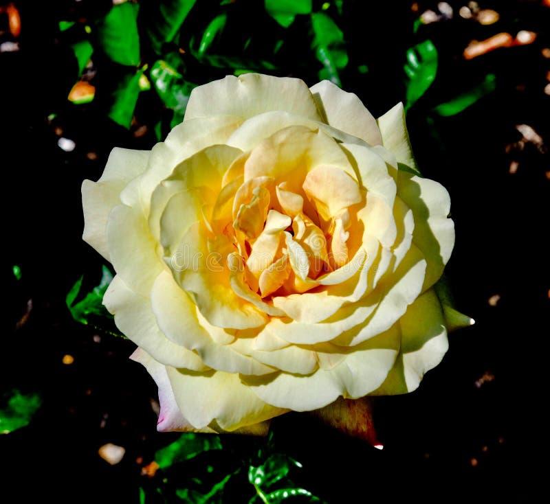 Ειρήνη της Rosa στοκ φωτογραφίες