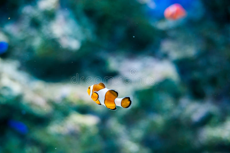 Ειρηνικά ψάρια κλόουν στο υπόβαθρο κοραλλιών στοκ φωτογραφίες
