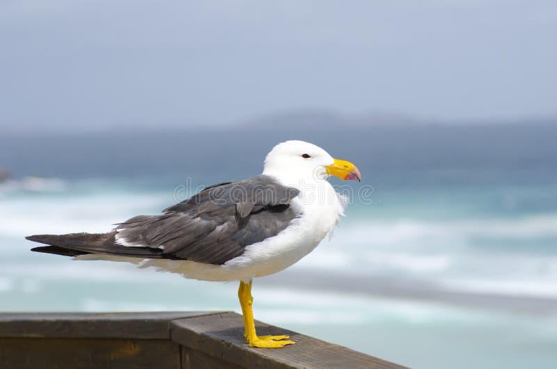 ειρηνική θάλασσα γλάρων στοκ εικόνα με δικαίωμα ελεύθερης χρήσης