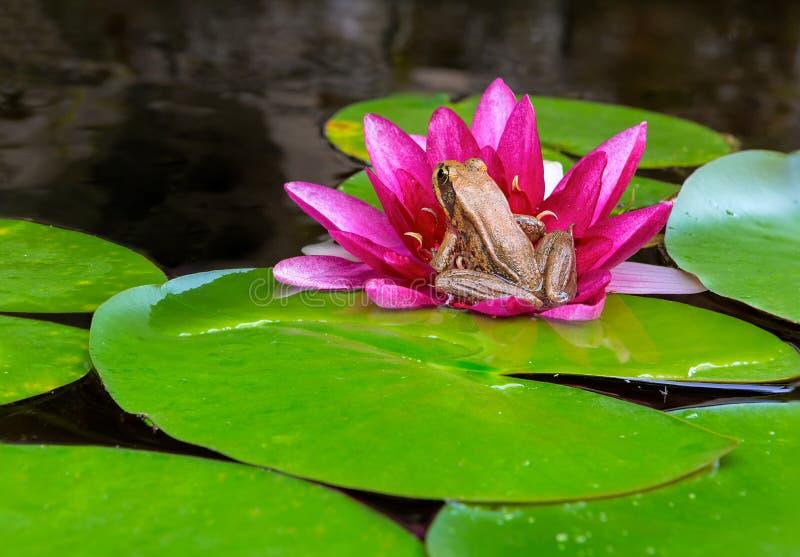 Ειρηνικός βάτραχος δέντρων στο λουλούδι κρίνων νερού στην κινηματογράφηση σε πρώτο πλάνο λιμνών στοκ εικόνα με δικαίωμα ελεύθερης χρήσης