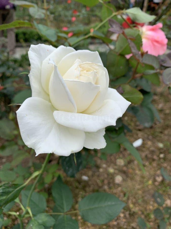 Ειρηνικός και ήρεμος άσπρος αυξήθηκε στοκ φωτογραφίες