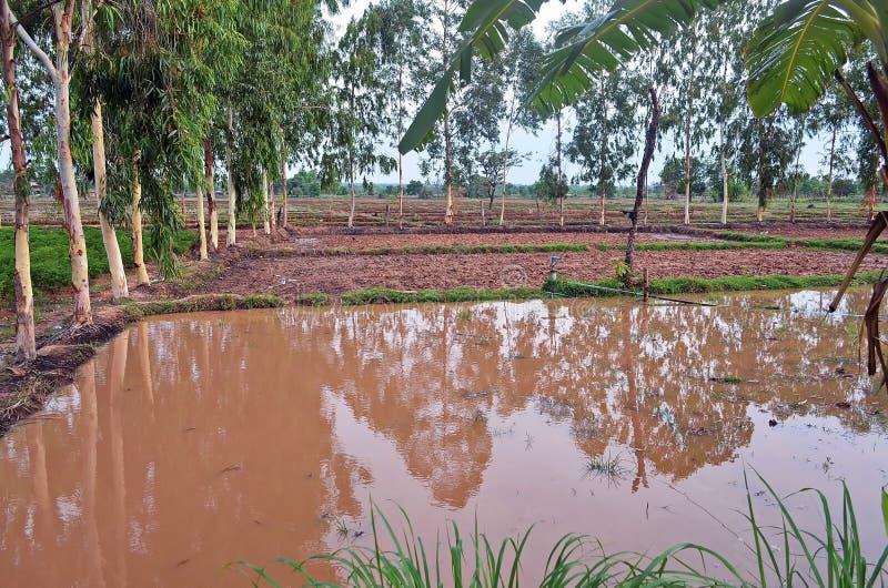 Ειρηνικός τομέας ρυζιού στην αγροτική επαρχία Sakon Nakhon στη βόρεια Ταϊλάνδη στοκ εικόνες