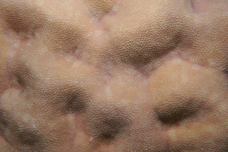 Ειρηνικός Ωκεανός κινηματογραφήσεων σε πρώτο πλάνο lobata Porites κοραλλιών λοβών στοκ εικόνα
