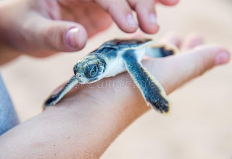 Εκκολαμμένος: Χελώνα θάλασσας Flatback στοκ φωτογραφίες με δικαίωμα ελεύθερης χρήσης