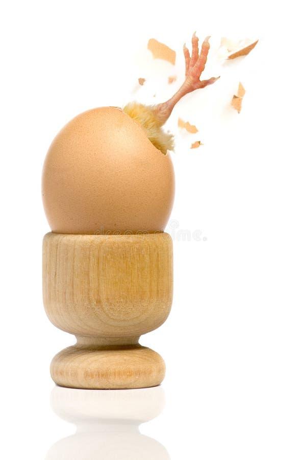 εκκόλαψη αυγών στοκ φωτογραφία με δικαίωμα ελεύθερης χρήσης