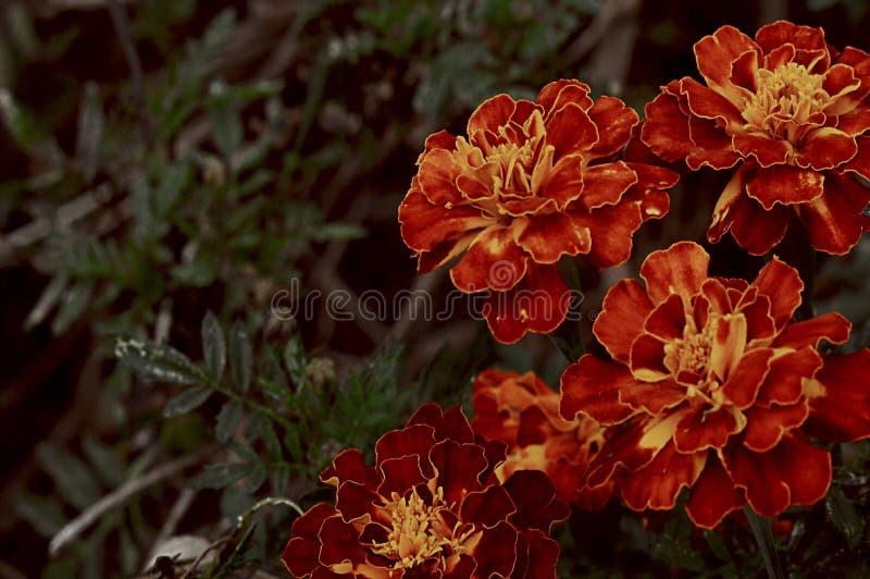 Εκλεκτής ποιότητας κόκκινο αναδρομικό φθινόπωρο λουλουδιών στοκ εικόνες