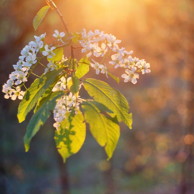 Εκλεκτική εστίαση υποβάθρου λουλουδιών δέντρων κερασιών ομορφιάς burd στοκ φωτογραφία