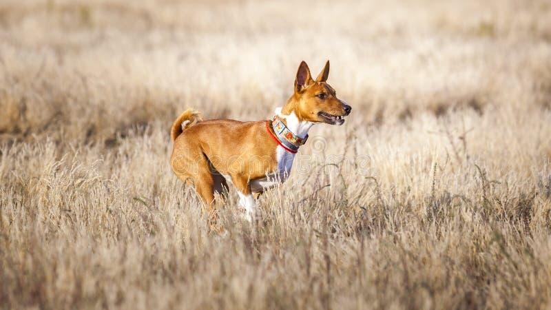Εκπαιδευτικό μάθημα Τρεξίματα διαδρομής σκυλιών Basenji πέρα από τον τομέα στοκ φωτογραφία με δικαίωμα ελεύθερης χρήσης