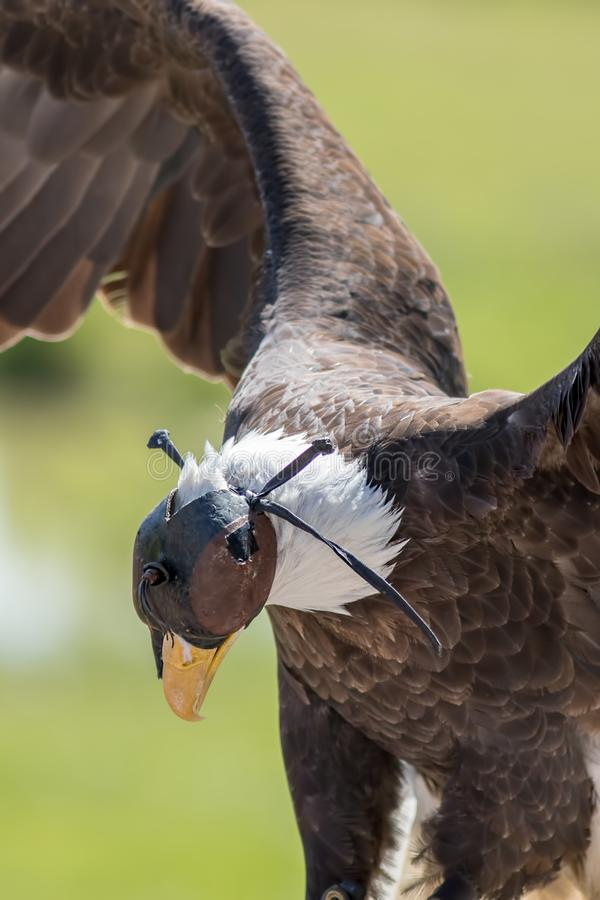 Εκτροφή γερακί Με κουκούλα φαλακρός αετός Πουλί του θηράματος με την κουκούλα δέρματος στοκ εικόνα με δικαίωμα ελεύθερης χρήσης