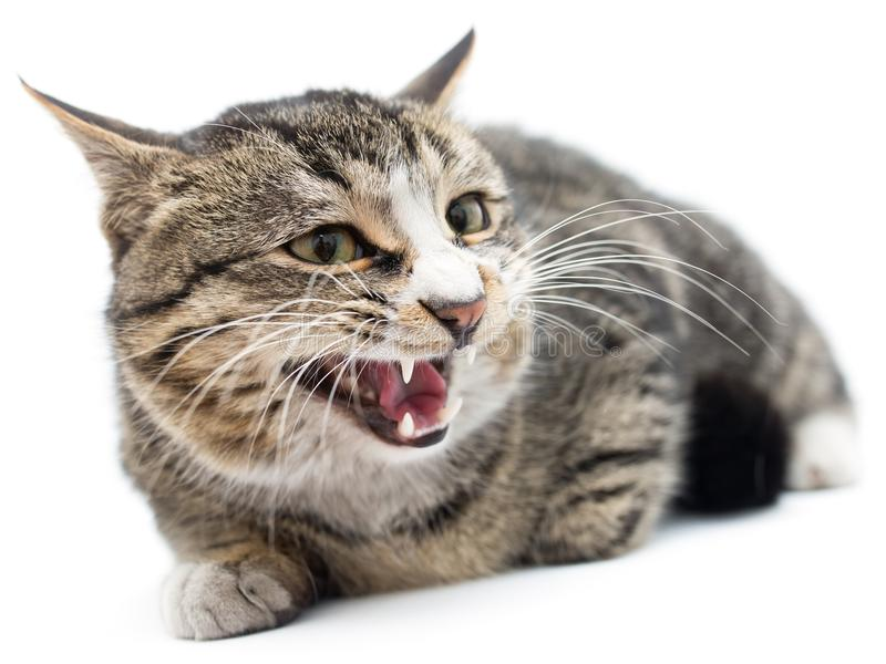 Εκφοβισμένο γατάκι που βρίσκεται στο μέτωπο η ανασκόπηση απομόνωσε το λευκό μακριά κοιτάζοντας στοκ εικόνες με δικαίωμα ελεύθερης χρήσης
