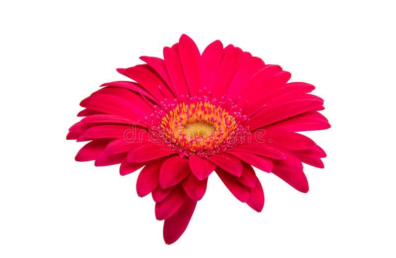 εκφράστε τη μακρο ευχαρίστηση αγάπης ζωής gerbers gerbera λουλουδιών λουλουδιών ηλιακή στοκ εικόνα