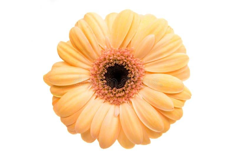 εκφράστε τη μακρο ευχαρίστηση αγάπης ζωής gerbers gerbera λουλουδιών λουλουδιών ηλιακή στοκ φωτογραφία