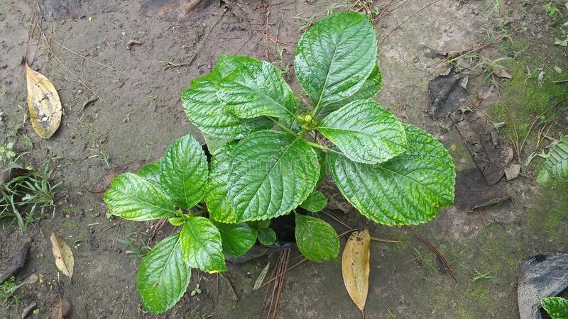 Εκφραστικός πράσινος των εγκαταστάσεων - Siguatepeque, ασβέστιο της Ονδούρας στοκ εικόνες