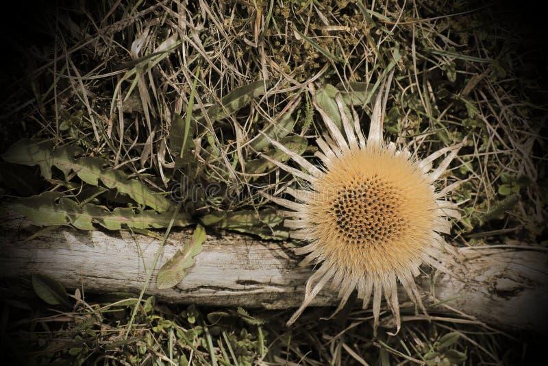 Εκλεκτής ποιότητας εικόνα ύφους των acaulis Carlina (άκαυλος καρλινίας κάρδος) στοκ εικόνες
