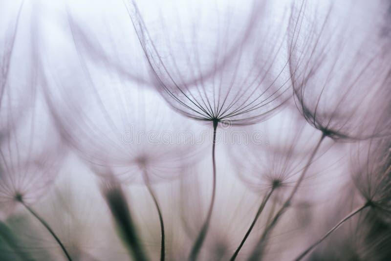 Εκλεκτής ποιότητας πορφυρό αφηρημένο υπόβαθρο λουλουδιών πικραλίδων στοκ εικόνες
