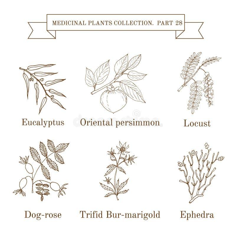 Εκλεκτής ποιότητας συλλογή συρμένων των χέρι ιατρικών χορταριών και των εγκαταστάσεων, ευκάλυπτος, persimmon, ακρίδα, σκυλί-τριαν ελεύθερη απεικόνιση δικαιώματος