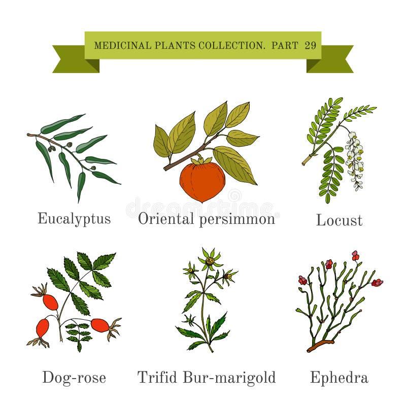 Εκλεκτής ποιότητας συλλογή συρμένων των χέρι ιατρικών χορταριών και των εγκαταστάσεων, ευκάλυπτος, persimmon, ακρίδα, σκυλί-τριαν απεικόνιση αποθεμάτων