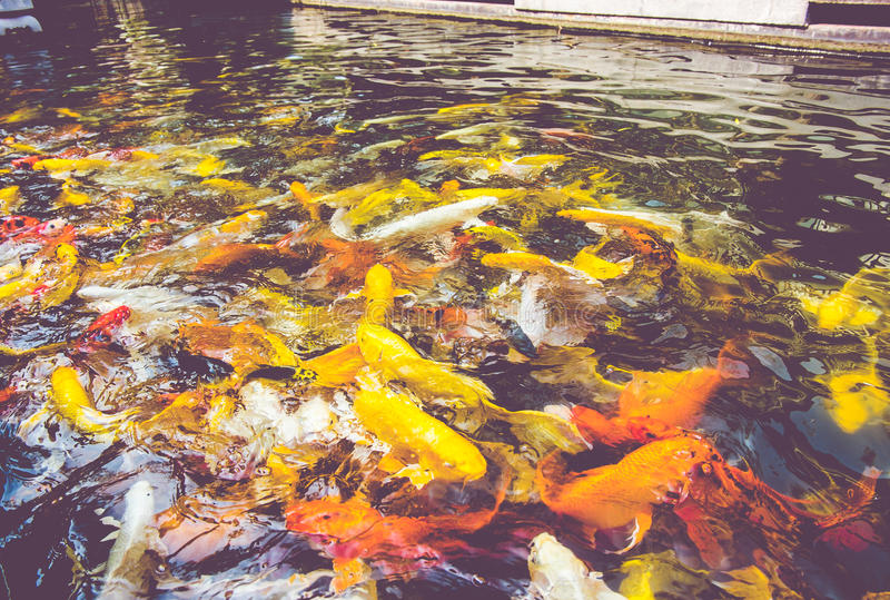 Εκλεκτής ποιότητας φίλτρο: Πλήθος των ψαριών Koi στη λίμνη, ζωηρόχρωμη φυσική πλάτη στοκ εικόνες με δικαίωμα ελεύθερης χρήσης